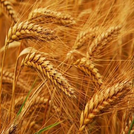 Озима пшениця, ЗАПАШНА, Еліта, Запашна, фото 2