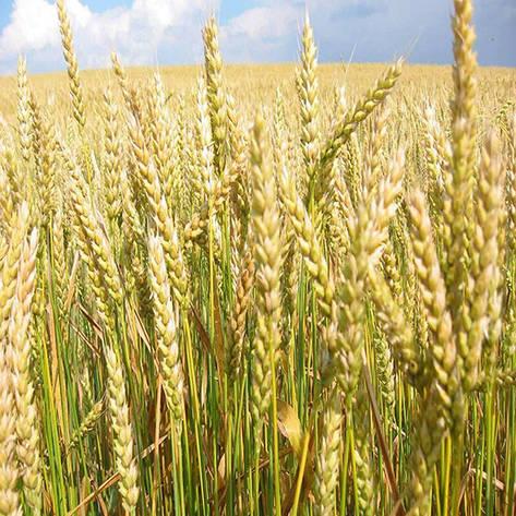 Озимая пшеница, ШЕСТОПАЛОВКА, Элита, фото 2