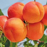 Саженцы абрикоса сорт Киото