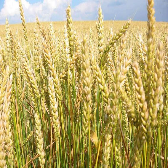 Озимая пшеница, ШЕСТОПАЛОВКА, Элита