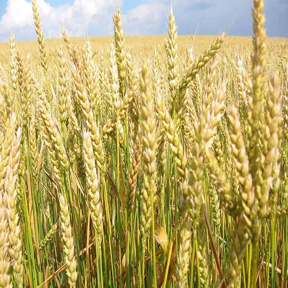 Озимая пшеница, АНТОНОВКА, Элита