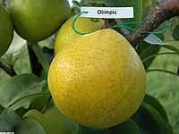 Саженцы груши сорта Олимпик