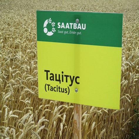 Озимая пшеница, ТАЦИТУС, Saatbau, Элита, фото 2