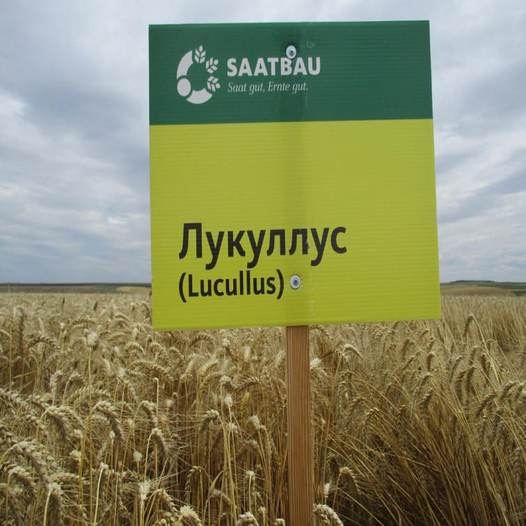 Озимая пшеница, ЛУКУЛЛУС, Saatbau, 1я Репродукция