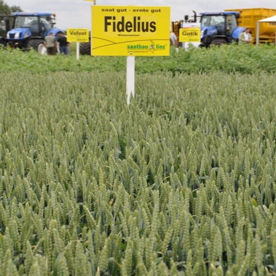 Озимая пшеница, ФИДЕЛИУС, Saatbau, 1я Репродукция
