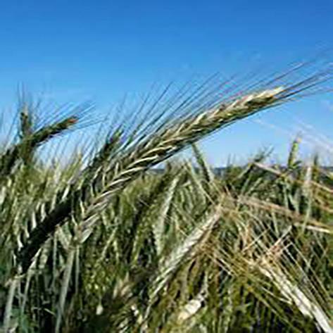 Озима пшениця, АМАНДУС, Saatbau, 1я Репродукція, фото 2