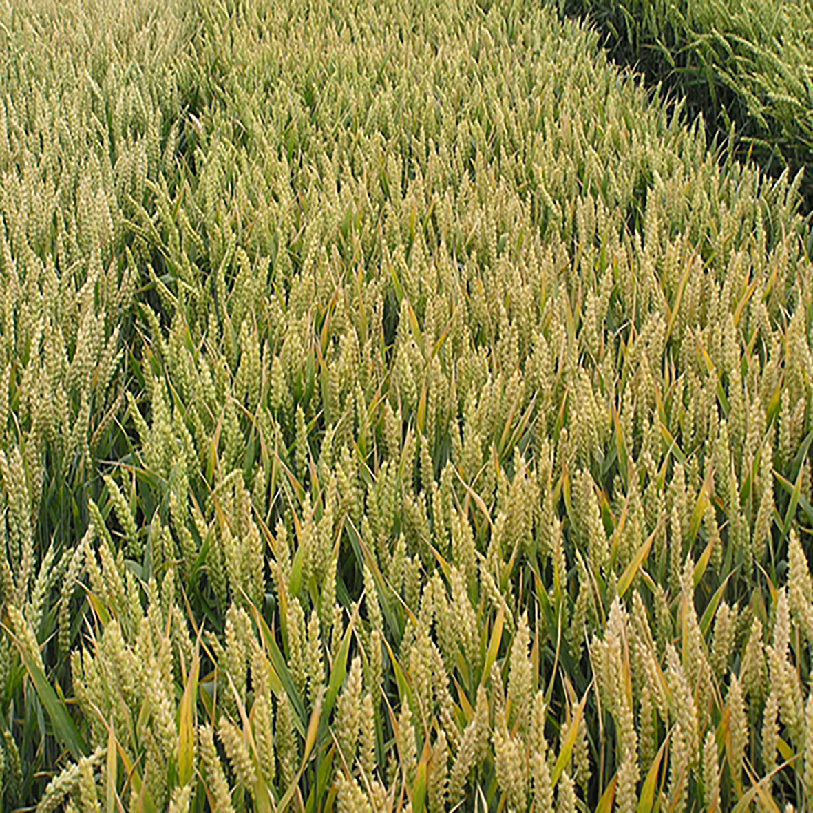 Озимая пшеница, МИДАС, Австрия, 1я Репродукция