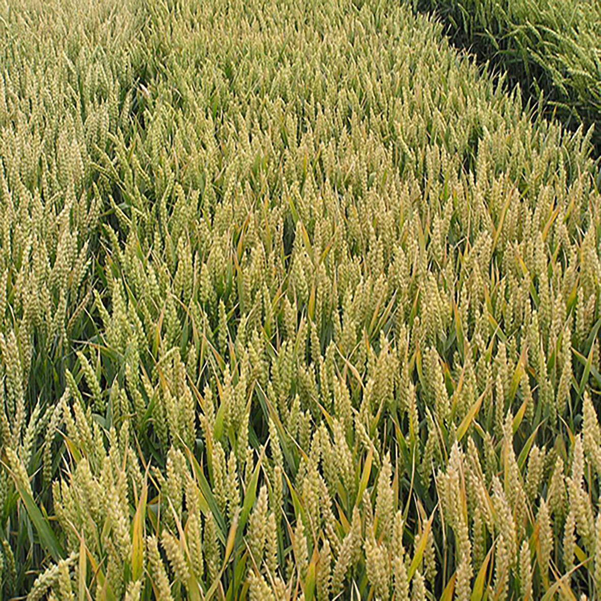 Озимая пшеница, МИДАС, Австрия, Элита