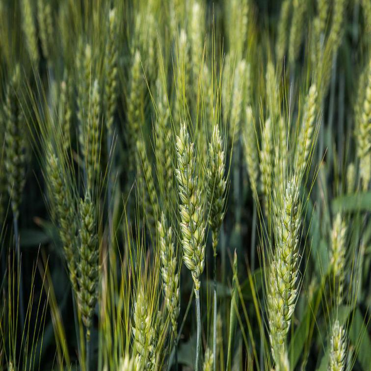 Озимая пшеница, БАЛАТОН, Австрия, Элита