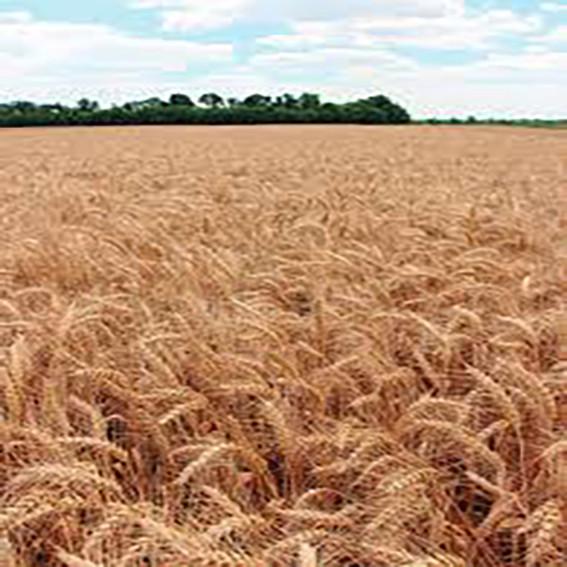 Озима пшениця, СКАГЕН, Saaten Union, 1я Репродукція
