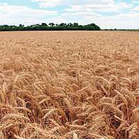 Озимая пшеница, СКАГЕН, Saaten Union, 1я Репродукция
