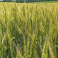 Озимая пшеница, БОГДАНА, Элита