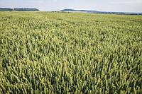 Семена озимой пшеницы НС 40С
