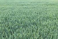 Семена озимой пшеницы НС Футура (элита)