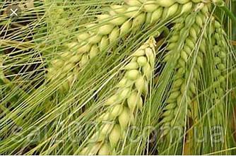 Семена ячменя Девятый Вал двуручка