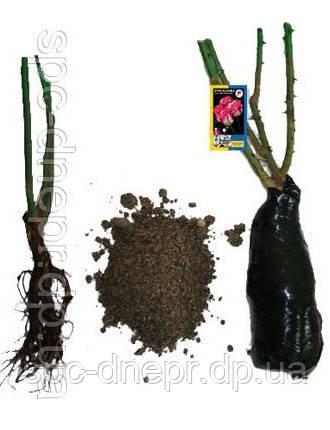 Роза чайно-гибридная Black Baccara, фото 2