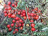 Асвон F1 семена томата низкорослого Kitano 1000 шт, фото 3