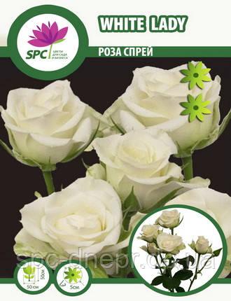Бордюрные саженцы роз, спрей White Lady