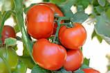Сагатан F1 семена томата низкорослого Syngenta Голландия  2500 шт, фото 2