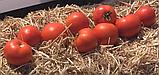 Сагатан F1 семена томата низкорослого Syngenta Голландия  2500 шт, фото 4