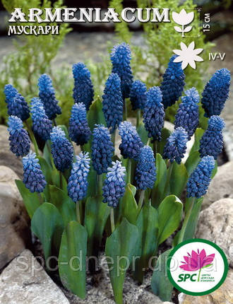 Мускари Armenicum