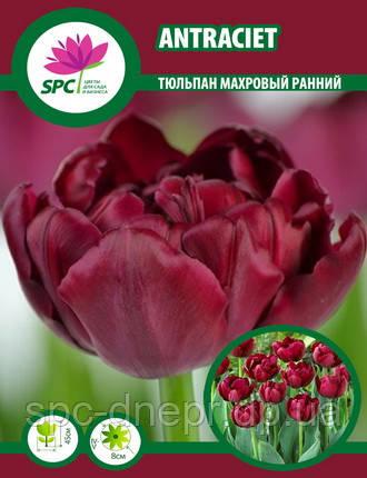 Тюльпан махровый ранний Antraciet