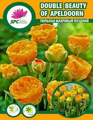 Тюльпан махровый поздний Double Beauty of Apeldoorn