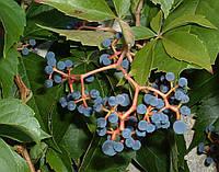 Девичий виноград дикий пятилистный семена(10 шт) для саженцев семечки, косточки, насіння Parthenocissu+подарок