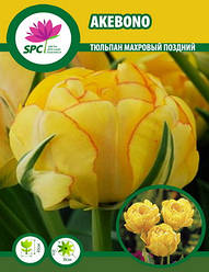 Тюльпан махровый поздний Akebono