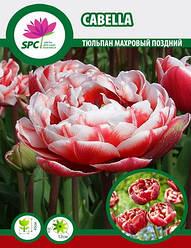 Тюльпан махровый поздний Cabella