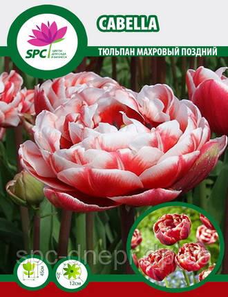 Тюльпан махровый поздний Cabella, фото 2