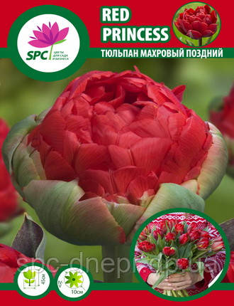 Тюльпан махровий пізній Red Princess