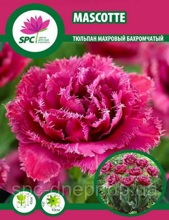 Тюльпан махровый бахромчатый Mascotte, фото 2