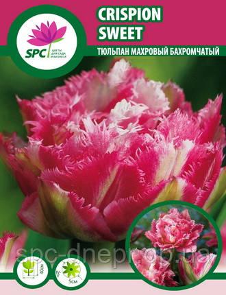 Тюльпан махровый бахромчатый Crispion Sweet, фото 2