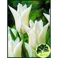Тюльпан лилиецветный White Triumphator