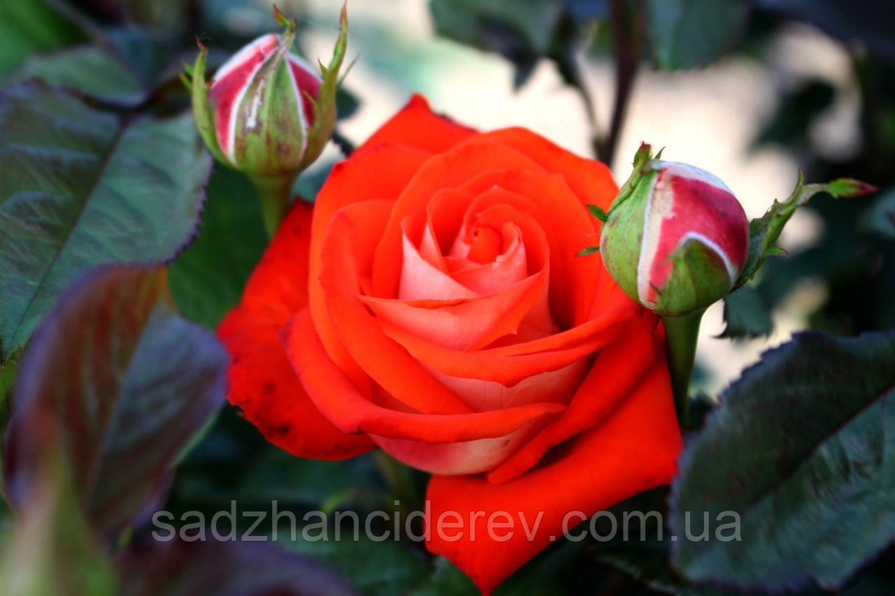 Саджанці троянд Верано (Verano)