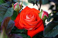 Саджанці троянд Верано (Verano), фото 1