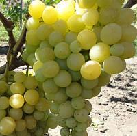 Виноград Спонсор (черенки)