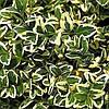 Самшит вечнозеленый Variegata, 10-15 см, контейнер 0,5 л