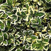 Самшит вечнозеленый Variegata, 10-15 см, контейнер 0,5 л, фото 1