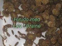 Пиявки купить с доставкой со Львова, пиявки  биофабричные вырощенные от кокона