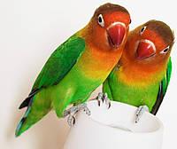 Попугаи Неразлучник-Фишера, фото 1