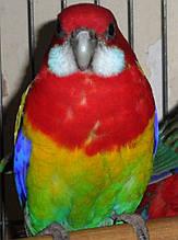 Розелла-Пестрая  (Rosela Pestra-Platycercus eximius)