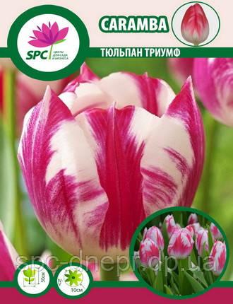 Тюльпан триумф Caramba, фото 2