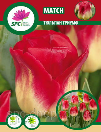 Тюльпан триумф Match, фото 2