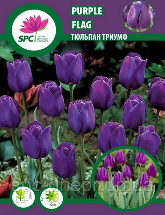 Тюльпан триумф Purple Flag