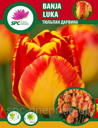 Тюльпан Banja Luka
