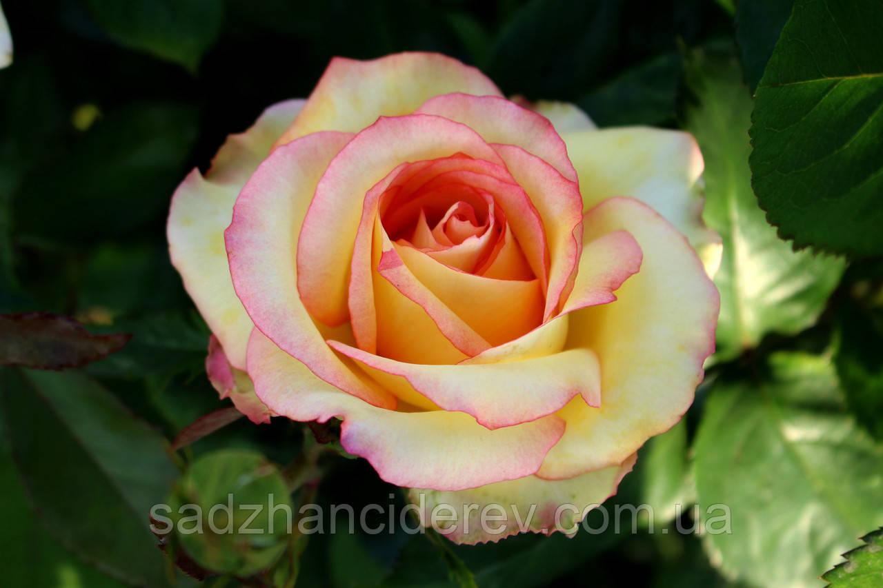 Саджанці троянд  Амбіанс (Ambiance, Амбианс)
