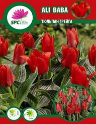 Тюльпан Грейга Ali Baba