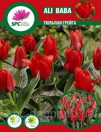 Тюльпан Грейга Ali Baba, фото 2